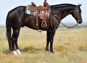 Big fancy black gelding! Ranch horse deluxe!!