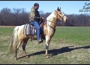 **SOLD** -- Flashy, Registered Champagne Tobiano Spotted Saddle Trail Mare