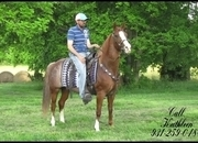 Very Stylish, Advanced Beginner, Well Mannered Red Roan Kentucky Mountain Trail Mare