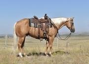 Ranch horse deluxe! Fancy palomino gelding! Gentle!