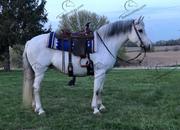 Gray Quarter Horse Pony