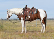 Awesome colored 13 yr old paint gelding! Ranch broke and gentle!