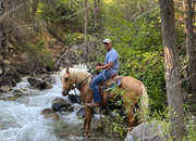Palomino Missouri Foxtrotter Gaited Trail Gelding