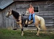 Buckskin Tobiano Tennessee Walking Gaited Trail Gelding