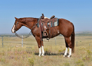 Striking 4 yr old paint mare! Reining, Ranch, Trail riding