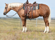 Big pretty palomino gelding! Gentle family horse!