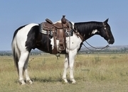 Black and white paint gelding. 9 yr old ranch using horse!