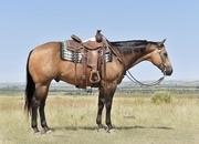 11 yr old buckskin gelding. Ranch horser deluxe! Gentle!