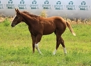 Gorgeous Chestnut 2020 APHA Paint filly-Sonny Dee Bar bloodlines