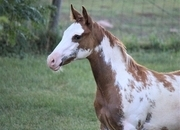 Beautiful 2020 APHA Sorrel Overo Filly-Sonny Dee Bar Bloodlines!