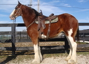 BIG 16.2 HAND CLYDESDALE MARE, GENTLE, RIDES AND DRIVES