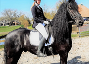 GENTLE GIANT Friesian For Sale! EXCEPTIONAL in EVERY Way,  FAIRYTALE 7 yr old friesian horse for sale At Blacksterlingfriesians.com