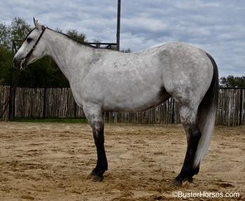 DanClassic Pinky Gal - 2014' gray AQHA mare