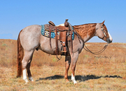 Beautiful 4 Year Old Paint Gelding!  Sired by Lazy Luvah!  Gentle-Ranch-Trail Deluxe!