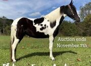 Place your bids at www.PlatinumEquineAuction.com Broke/Safe trail horse, gentle for any rider on trails! Super smooth gaited and Very Flashy, Spotted Saddle Horse!!!