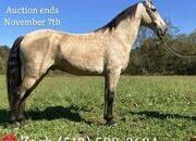 Place your bids at www.PlatinumEquineAuction.com Broke/Safe trail horse, gentle for any rider on trails! Super smooth gaited and Very Flashy Buckskin!!!