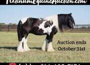 DREAMHORSE!!! Place your bids at www.PlatinumEquineAuction.com Ranch, Trails, Penning, Sorting, Family Safe, Gypsy Vanner Gelding!!!