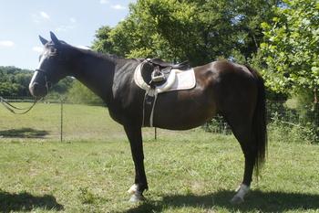 Kids can Ride ALONE SAFE Large  senior QH pony Babysitter