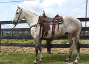 OWN SON OF PLAYGUN!  FINISHED RANCH HORSE, TEAM ROPES HEAD SIDE, TRAIL RIDE