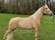 ****SOLD**** -- Gorgeous Golden Palomino Tennessee Walker Gelding
