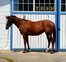 Thoroughbred for sale in United States of America