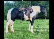 Place your bids at www.PlatinumEquineAuction.com Ranch/Trail Ready, quiet and gentle Crossbred!!!