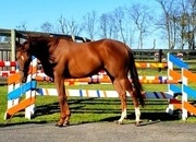 Castleman -  Awesome gelding