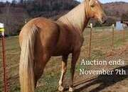 Place your bids at www.PlatinumEquineAuction.com Broke/Safe trail horse, gentle for any rider on trails! Super smooth gaited and Very Flashy Golden Palomino!!!