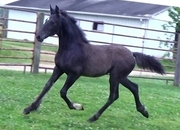 FLYING W FARMS IVANHOE'S LADY DREAMER  Friesian Drum Horse)  Black Friesian/Shire/Clydesdale filly foaled February 10, 2020 Sire IVANHOE (Friesian) FWF Sweetsheart (Shire/Clydesdale)