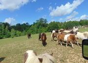 Miniature Horses make great Pets