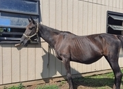 14 Yr Old Registered Standard bred mare In Foal