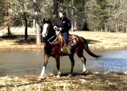Cool riding and pulling gelding! Beginner safe.