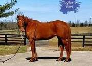 SOLD - Gorgeous tall warmblood type-Gentle
