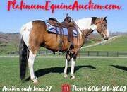 Place your bids at www.PlatinumEquineAuction.com Fancy Paint gelding, Lots of handle, has been ranched and roped on, trail ridden, JUMPED and Western DRESSAGE!!!
