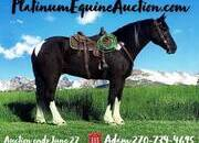 Place your bids at www.PlatinumEquineAuction.com Crossbred, Jumping and Dressage prospect, awesome on Ranch and Trails... Beginner Safe!!! MUST SEE VIDEO!!!