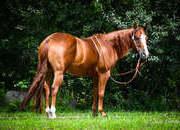 GQ - Ultimate All-Around Horse - place bids at www.horsebid.com