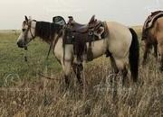 Buckskin Registered Missouri Foxtrotter Gaited Trail Gelding