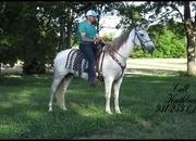 Gorgeous Grey Tennessee Walker Trail Mare