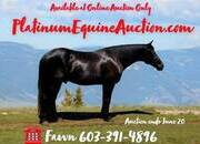 Place your bids at www.PlatinumEquineAuction.com beginner safe trail horse, big stout and super smooth gaited!