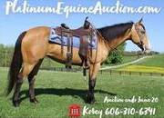 Place your bids at www.PlatinumEquineAuction.com safe ranch horse, stout, broke, great on the trails or ranch!