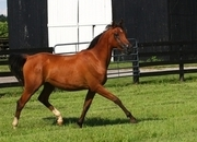 SOLD!!!  Onapar 2018. Purebred Arabian Gelding.  We have quality mares and fillies for sale from $3,750