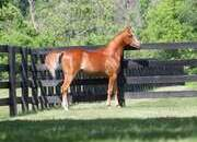 SOLD!!!  FAYED al Aladeed.  No geldings currents available but inquire about areas and fillies from $3,750.