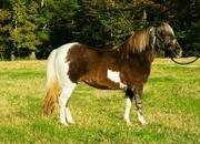 Priscilla- The Kind Everybody Wants! Ranch Pony