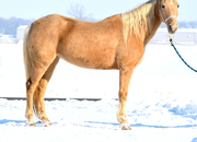 Eye-catching sweet palomino mare, trails or 4h project
