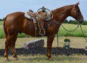 Ringo - Tried & True, Finished All Around Ranch horse