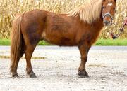 Bombproof starter leadline pony