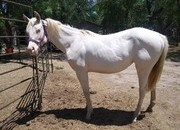 Blue Eyed Perlino Filly yearling with Dun factor and has dorsal stripe down back. 2019 registered She is halter and lead broke, friendly. yearling with good size and temperament. A unique and real beautiful combination! An eye catcher for those who like