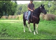 **SOLD** -- Gorgeous Beginner/Timid Rider, Well Broke Tennessee Walker Trail Mare
