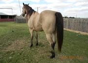 big beautiful registered buckskin gelding aka spirt