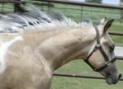 Hollywood Dunnit, QT Poco Streke, Trashadeous - Royally bred Stallion/Performance bred Buckskin Tobiano